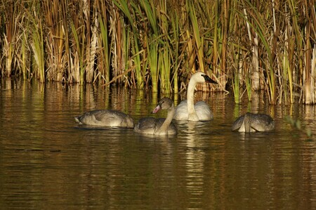 Trumpeter Swans two